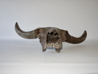 A Magnificent Skull of a Pleistocene Wisent