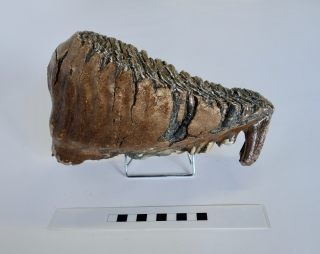 A Gorgeous Lower Jaw M2 Molar of a Woolly Mammoth
