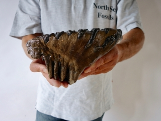 An Upper Jaw M2 Molar of a Southern Mammoth
