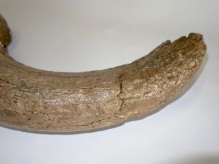 A Good Hornpit of a Pleistocene Aurochs