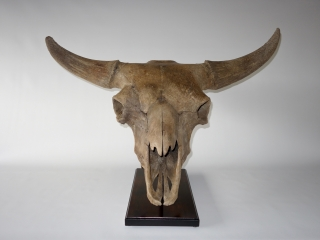 A Superb Skull with Hornpits of a Wisent