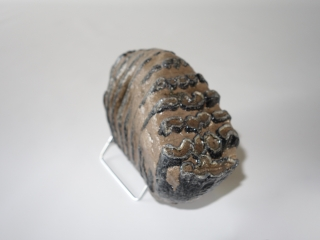 A Beautiful M2 Molar of a Southern Mammoth
