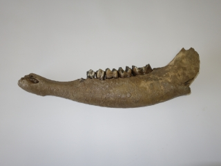 A Good Half Lower Jaw of a Pleistocene Aurochs
