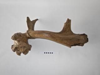 A Fantastic Partial Cranium with Antler of an Irish Elk