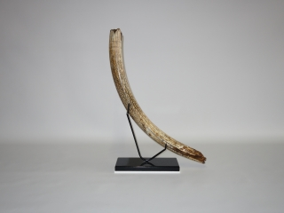 A Gorgeous Nearly Complete Tusk of a Female Woolly Mammoth