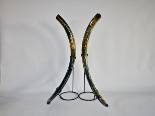 A Superlative Pair of Tusks of a Female Woolly Mammoth