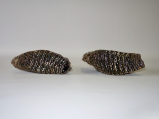 A Fantastic Pair of M3 Molars of a Woolly Mammoth