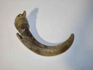 A Beautiful Hornpit of a Pleistocene Aurochs