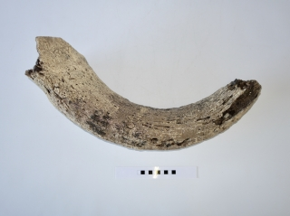 A Beautiful Partial Hornpit of a Pleistocene Aurochs