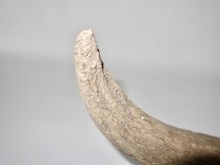 A Good Partial Cranium of a Pleistocene Wisent