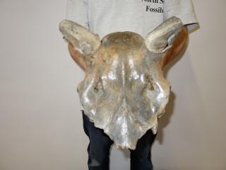 A Wonderful Cranium of an Irish Elk
