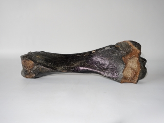 A Partial Tibia of a Woolly Rhinoceros