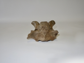 A Beautiful Cervical Vertebra of a Woolly Rhinoceros