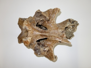 A Good Partial Cranium of a Woolly Rhinoceros
