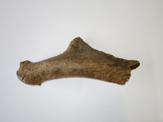 A Good Partial Antler of an Irish Elk