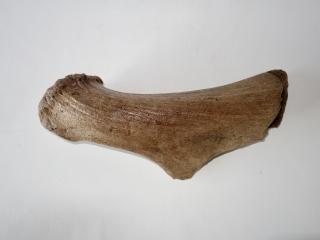 A Good Partial Antler of an Irish Elk