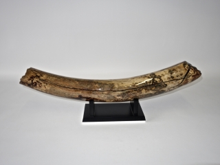 A Fantastic Base of Tusk of a Woolly Mammoth