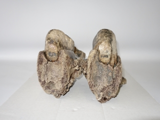 A Good Upper Jaw with M2 Molars of a Woolly Mammoth