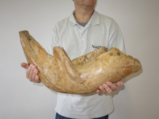 A Half Lower Jaw with M3 Molar of a Woolly Mammoth