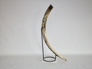A Superb Complete Tusk of a Female Woolly Mammoth