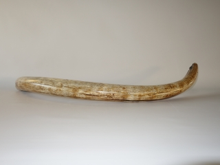 A Gorgeous Near-Complete Tusk of a Female Woolly Mammoth