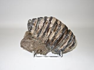 A Beautiful Upper Jaw M2 Molar of a Southern Mammoth