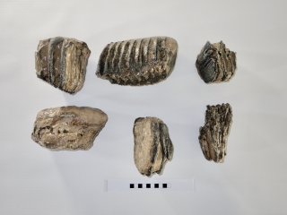 A Bargain Lot of 6 Partial Southern Mammoth Molars