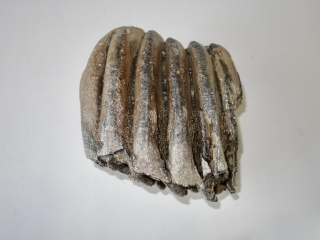 A Half Lower Jaw M3 Molar of a Southern Mammoth