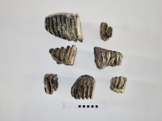 A Bargain Lot of 7 Partial Southern Mammoth Molars
