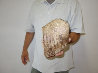 A Half Upper Jaw M3 Molar of a Southern Mammoth