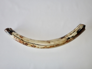 A Fantastic Half Tusk of a Male Woolly Mammoth
