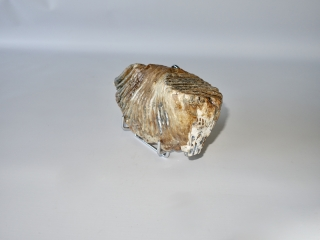 A Beautiful Lower Jaw M3 Molar of a Woolly Mammoth
