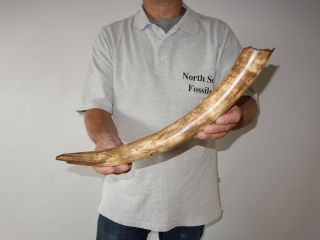 A Beautiful Nearly Complete Tusk of a Juvenile Woolly Mammoth