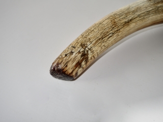 A Beautiful Nearly Complete Tusk of a Female Woolly Mammoth