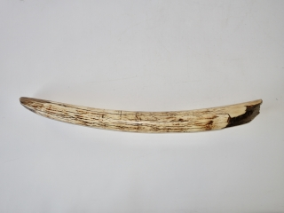 A Beautiful Half Tusk of a Woolly Mammoth