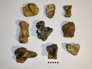 A Bargain Lot of 9 Foot Bones of Woolly Mammoth