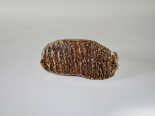 A Good Upper Jaw M2 Molar of a Woolly Mammoth
