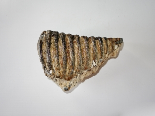 A Good Lower Jaw M2 Molar of a Woolly Mammoth