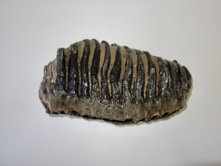 A Fantastic Upper Jaw M3 Molar of a Southern Mammoth