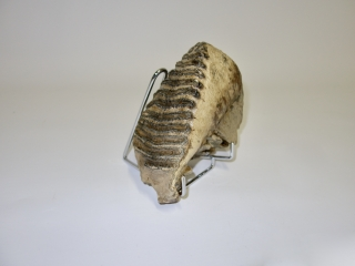 A Beautiful Upper Jaw M2 Molar of a Woolly Mammoth