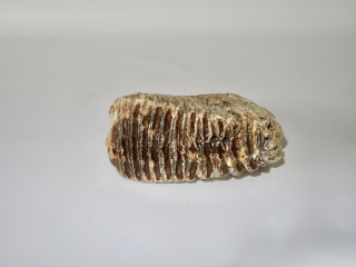 A Good Upper Jaw M3 Molar of a Woolly Mammoth