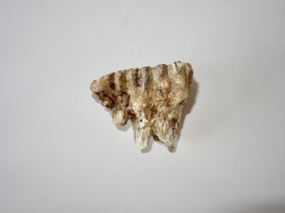 A Nice Upper Jaw M1 Molar of a Woolly Mammoth
