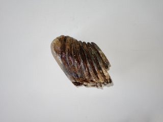 A Partial Lower Jaw M1 Molar of a Woolly Mammoth