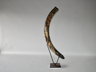 A Fantastic Complete Tusk of a Female Woolly Mammoth