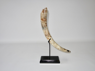 A Beautiful Complete Tusk of a Juvenile Woolly Mammoth