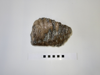 A Good M2 Molar of a Southern Mammoth