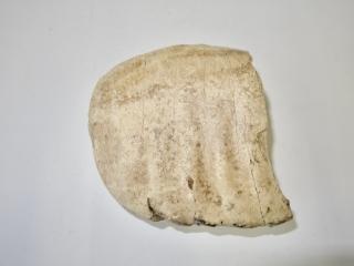 A Half Upper Jaw M3 Molar of a Woolly Mammoth