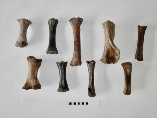 A Group of 9 Partial Bones of Juvenile Mammoth, Rhino, Wisent and Horse