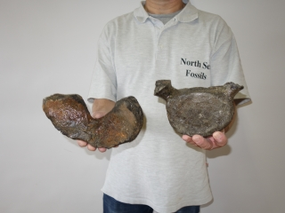A Bargain Lot of Six Good Whale Vertebrae