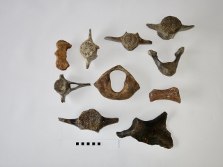 A Bargain Lot of 10 Bones of Dolphin and Beluga